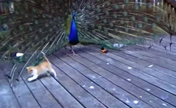 Kitten vs Peacock (Video)