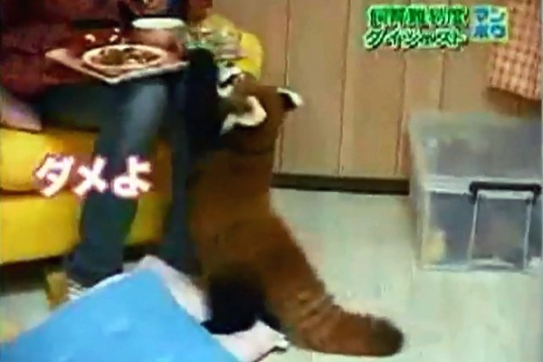 Red Pandas vs Japanese Girl (Video)