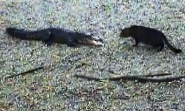 Cat vs Alligator (Video)