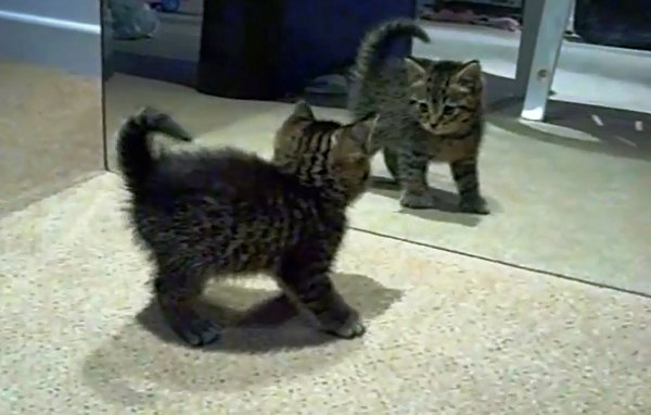 Kitten vs Mirror (Video)