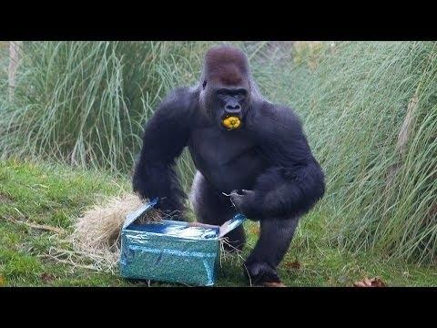 Silverback Gorilla Celebrates Birthday At London Zoo