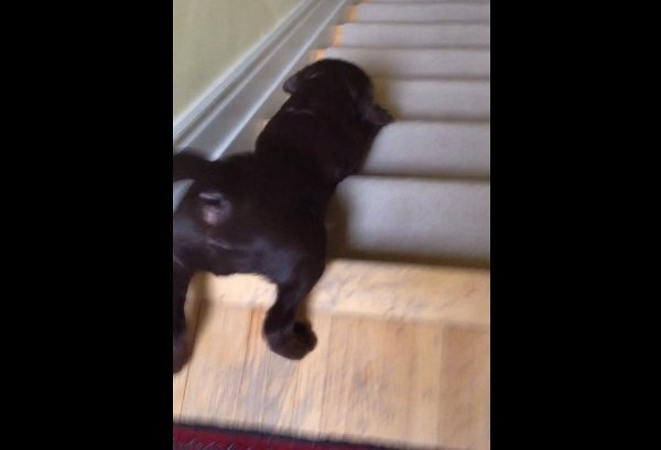 Chocolate Lab Puppy Sliding down Stairs (Video)