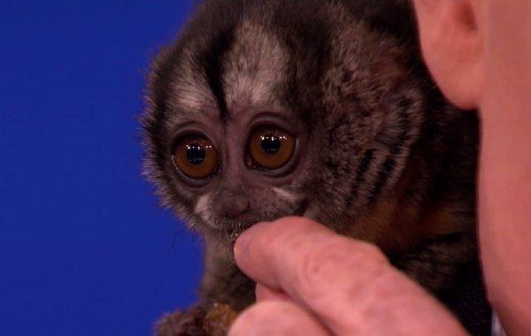 Owl Monkey vs Conan O'Brien (Video)