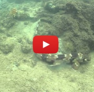 """Walking shark"" crawls along ocean floor like a slow, underwater lizard instead of swimming"