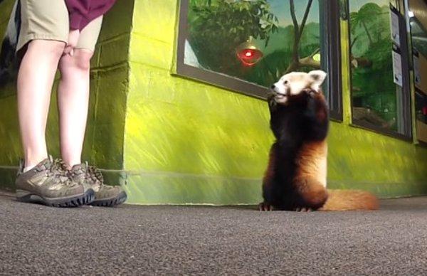 Lincoln the Red Panda's Shenanigans at Lincoln Children's Zoo in Nebraska (Video)