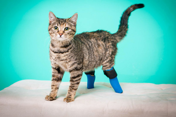 Double-Amputee Cat Goes down Stairs on Front Paws (Video)