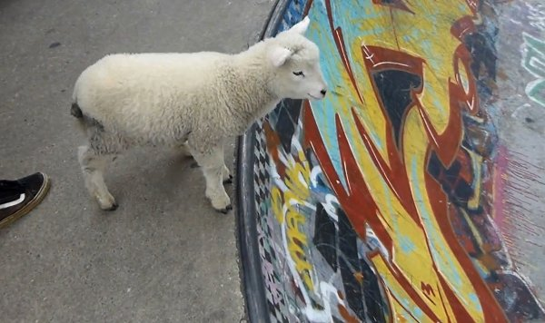 Pet Sheep in Skate Park (Video)