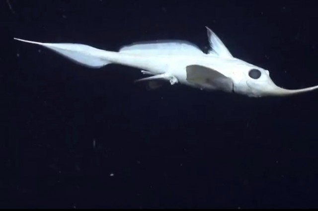 Deep Sea Explorers Spot Bizarre Fish That Doesn't Look Real