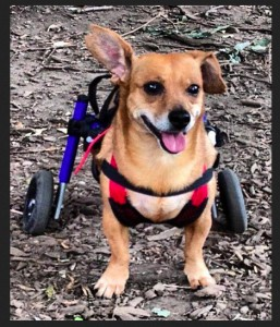"Community Post: Cute Wheelchair Dog Does A ""What Does The Fox Say"" Video Parody"