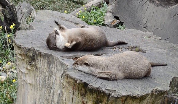 Otter Plays with Rock in Hard Mode (Video)