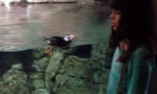 Little Girl and Horned Puffin Play Chase (Video)