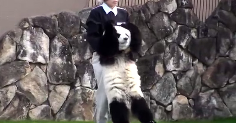 Playful Panda Does Everything He Can Think Of To Defy His Caretakers