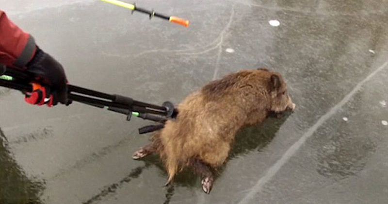 Wild Boars Were Stuck On An Icy Lake - That's When Friendly Skaters Saved The Day