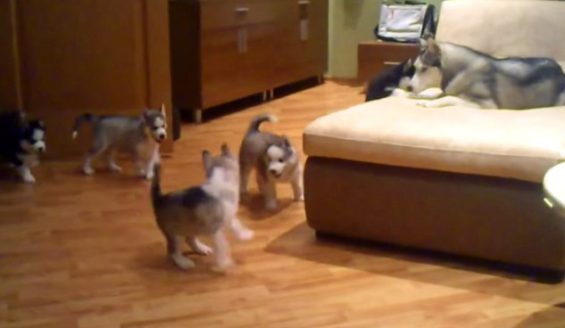 Husky Mom Plays with Puppies (Video)