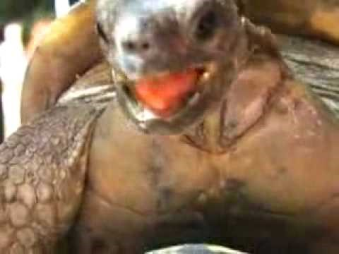 Saved By Sex of the Day: Diego the Tortoise Probably Gets Laid More Than You Do