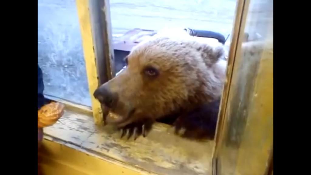 Wild Bear Gets Fed Through Window (Video)