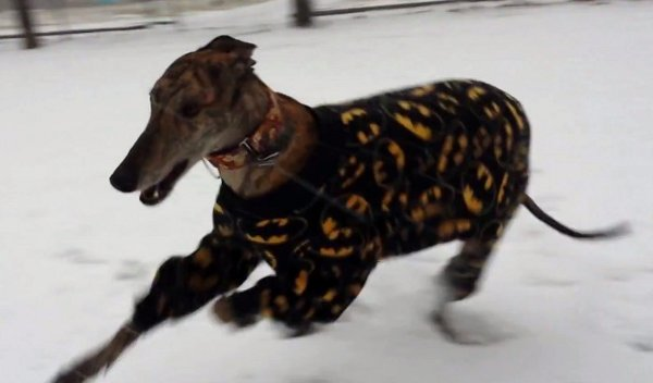 Greyhound in Batman Jammies Has Fun in the Snow (Video)