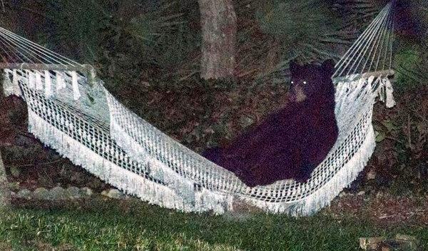 Bear Relaxing in Hammock Spotted in Florida Backyard (Video)
