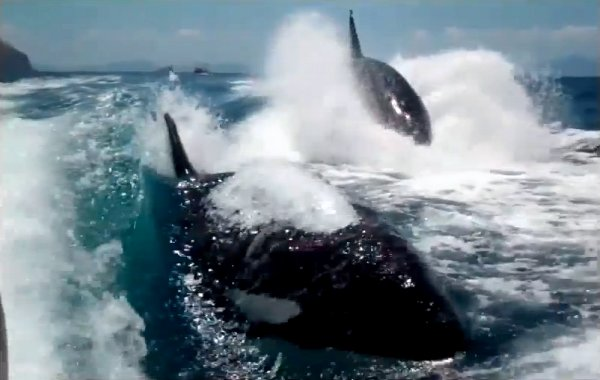 Killer Whales Chasing Boat (Video)