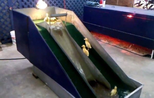 Baby Ducks on Water Slide (Video)