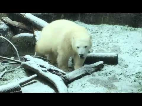 Portland Zoo's Polar Bear Couldn't Be Happier About the First Snow of the Season