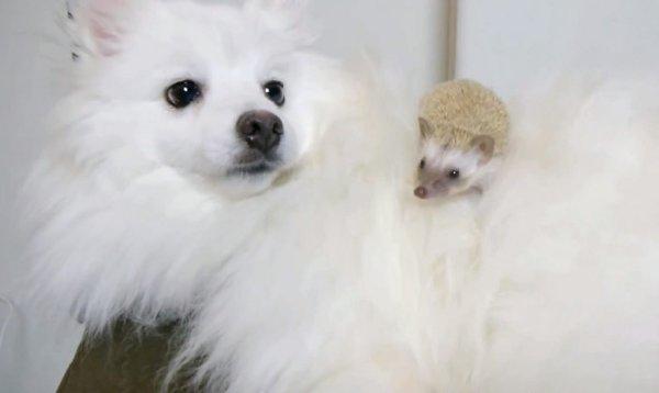 Dog Meets Hedgehog (Video)