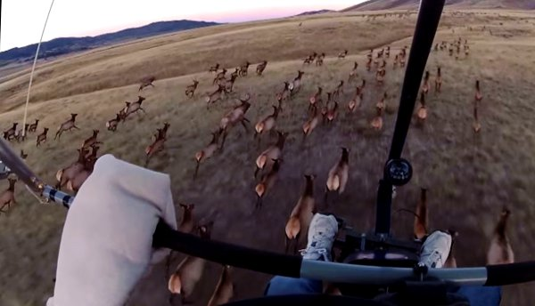 Flying over a Huge Herd of Elk with a Motorized Hang Glider (Video)