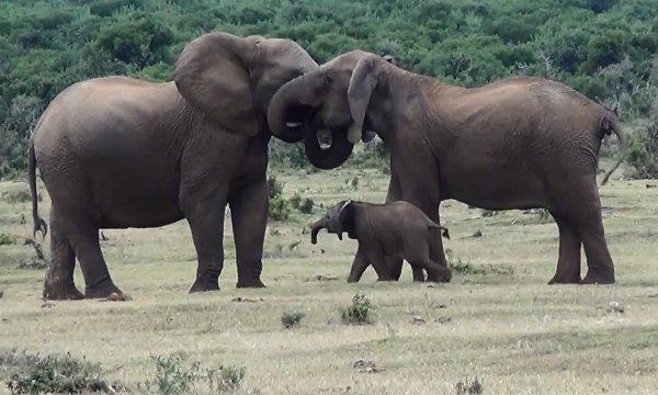 Elephant Family Reunion (Video)