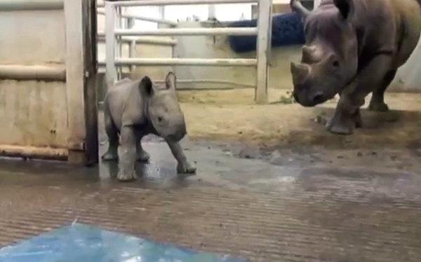 Adorable Baby Black Rhino (Video)