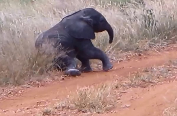 Baby Elephant Trying to Figure Out His Trunk (Video)