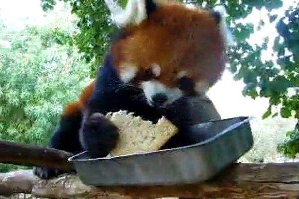 Red Panda Eating Toast (Video)