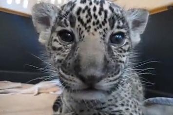 Community Post: Sleepy Jaguar Cub Mugs For Camera