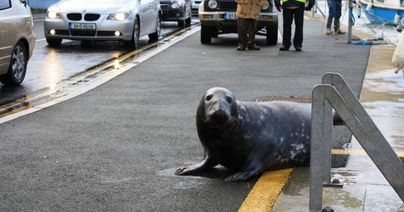 Hungry Seal Flops Across The Street To His Favorite Seafood Restaurant Every Day