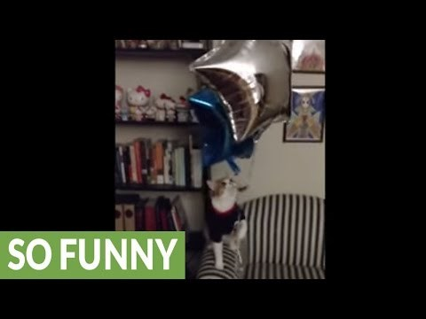 Watch a Cat in a T-Shirt Battle Some Shiny Balloons