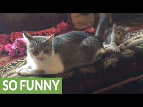 Playful Kitten Tries So Hard to Catch Her Mom's Tail