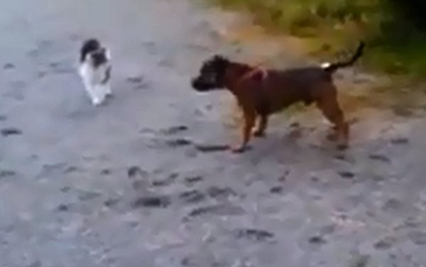 Cat Scares Dog (Video)