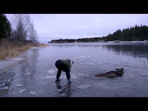 Kind Humans Go out of Their Way to Help Save a Moose Stuck in Ice
