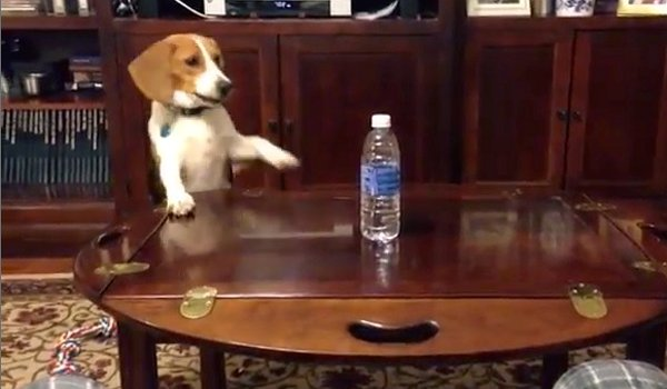 Beagle Struggles to Reach Water Bottle (Video)