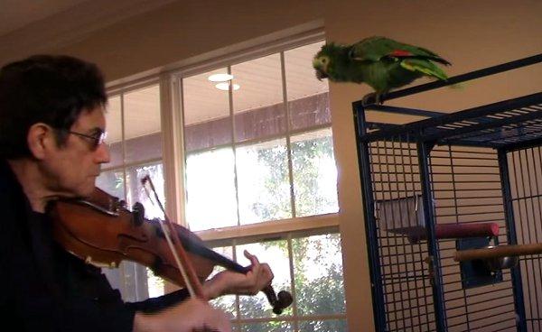 Parrot vs Violinist (Video)