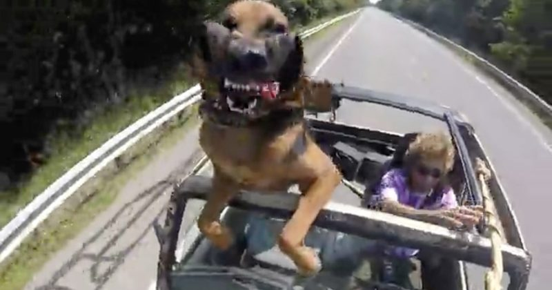 When This Dog Goes For A Car Ride, He Does The Funniest Thing!