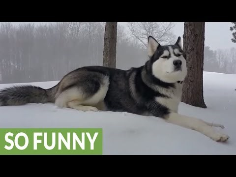 Husky Cannot Contain His Excitement for the First Snowfall of the Year