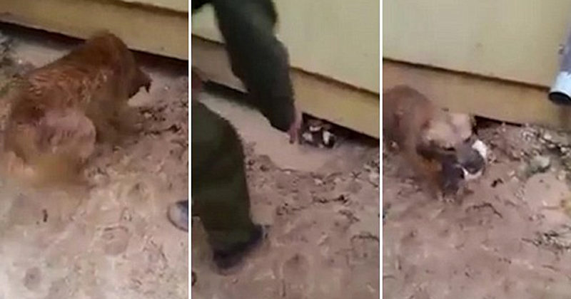Heroic Dog Risks Her Life To Save Puppies Trapped In Flood Water Under A House