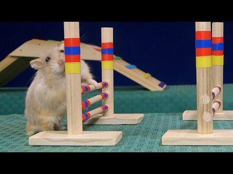 The 2016 Olympics Need This Tiny Hamster Agility Course