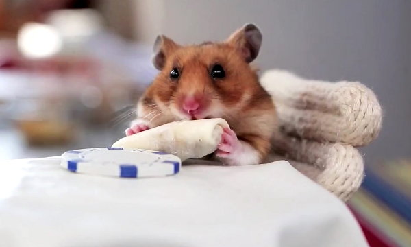 Tiny Hamster Eating Tiny Burritos (Video)