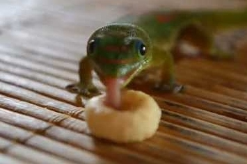 "Community Post: Mr. And Mrs. Gecko ""Eating"" Cheerios"