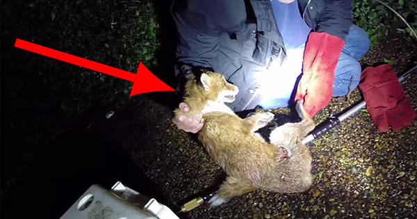 Kind Man Dressed In His Bathrobe Helps A Wildlife Rescuer Save An Injured Fox.