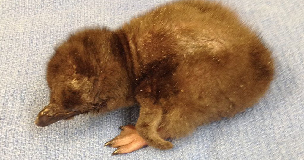 "Cincinnati Zoo Names Its Newest Baby Penguin ""Bowie"""