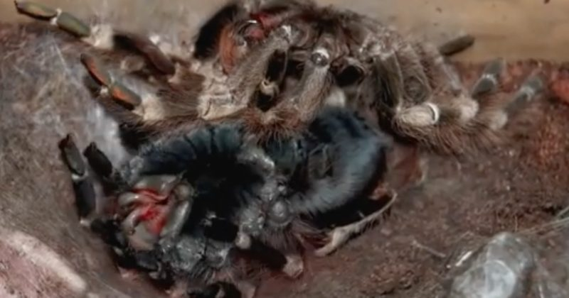 No Matter How Many Times I See It, Tarantulas Molting Will Always Freak Me Out