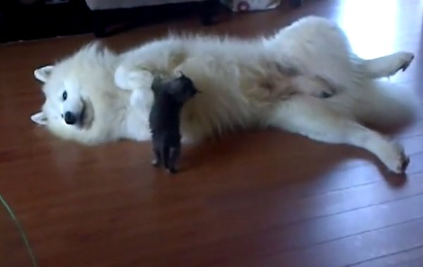Tiny Kitten Plays with Samoyed Dog (Video)