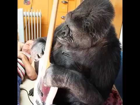 Koko the Gorilla Jams With Flea From the Red Hot Chili Peppers